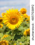 Постер, плакат: Sunflowers Sunflowers blooming against a