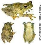 warty treefrog  ecnomiohyla...   Shutterstock . vector #485754082