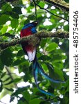 resplendent quetzal perched on... | Shutterstock . vector #485754406