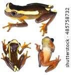 upper amazon treefrog ...   Shutterstock . vector #485758732