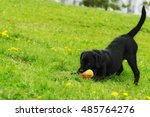 Playful Black Labrador Puppy...