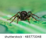 Small black house spider ...