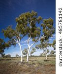 Small photo of Ghost Gum (Corymbia aparrenjinja) Simpson Desert, Northern Territory, Australia
