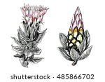 tropical pink king protea... | Shutterstock . vector #485866702