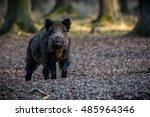wild boar male in the forest... | Shutterstock . vector #485964346