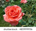 Stock photo beautiful coral rose in the garden 485999956