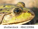 Macro Portrait Of Marsh Frog  ...