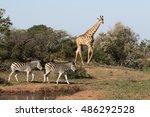 giraffe  giraffa camelopardalis ... | Shutterstock . vector #486292528