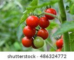 Growth Green And Red Tomatoes...