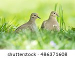 Mourning Doves In Deep Grass....