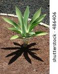 Small photo of Agave Attenuata Cactus