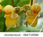 Coryanthes Macrantha Is An...