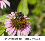 Bumblebee On Purple Coneflower...