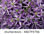 close up of garlic purple... | Shutterstock . vector #486795706