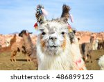 Funny white lama smiling close-up with other lamas grazing on the background in Peru