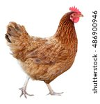Brown Hen Isolated On White...
