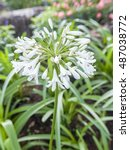 Small photo of African Lily; Agapanthus africanus in the garden.