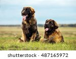 Leonberger Dogs In Nature