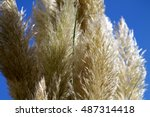 Cortaderia Selloana  Decorativ...