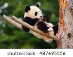 funny panda bear. comical young ... | Shutterstock . vector #487695556