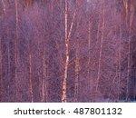 Frozen Birch Tree In The...