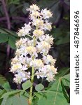 Small photo of Flowers of horse-chestnut (Aesculus hippocastanum).