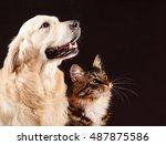 Stock photo cat and dog siberian kitten golden retriever looks at right 487875586