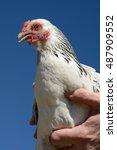 Small photo of Bantam light brahma chicken against blue sky