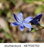 Dainty Little Blue Squill...