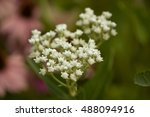 Small photo of Parthenium integrifolium is a species of flowering plant in the aster family known by the common names wild quinine, American feverfew, and Eastern feverfew.