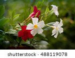 red and white mandevilla in a... | Shutterstock . vector #488119078