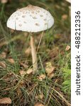 Small photo of Amanita phalloides, known as the death cap