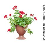 Small photo of Home plant red geranium (ore cranesbill, ore pelargonium) in a brown flowerpot, isolated on white background