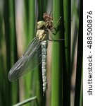 Small photo of Blue Hawker or Southern Hawker