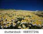 Boundless Camomile Field