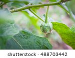 thai green eggplant on the tree ... | Shutterstock . vector #488703442