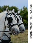 two white head horses   Shutterstock . vector #488766658