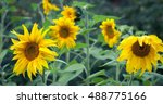 Постер, плакат: Sunflower Oil Production Sunflower