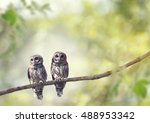 Two Young Barred Owls Perch On...