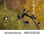Birds   Magpie  Pica Pica ...