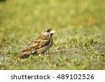 indian sparrow drinking water | Shutterstock . vector #489102526