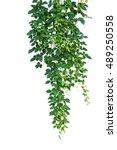 Wild climbing vine ivy plant ...