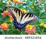 Tiger Swallowtail Feeding On...