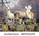 Llamas. South American Animals...