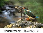 Small photo of Blue-banded kingfisher (Alcedo euryzona) male feeding a lizard in the creek