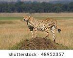 Cheetah on lookout point, Masai Mara, Kenya - stock photo