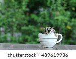 Sugar Glider In Coffee Cup ...