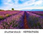 lavender field summer landscape ... | Shutterstock . vector #489869686