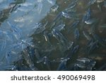 fish farming  farm breeding... | Shutterstock . vector #490069498