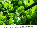 Watering Spinach On The Farm....